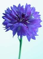 Lilac Delight Fine Art Print