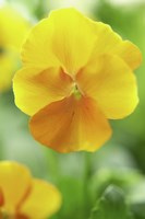 Yellow Pansy Fine Art Print