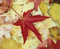Autumn Leaves Fine Art Print