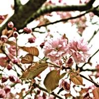 Pink Blossom II Framed Print