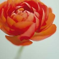 Orange Delight II Framed Print