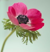 Pink Anemone Fine Art Print