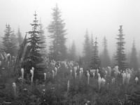 Evergreens And Field Mist 7 Fine Art Print