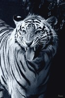 White Tiger 2 Fine Art Print