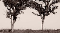 Two Trees In Field Black And White Fine Art Print