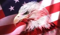 American Bald Eagle II Fine Art Print