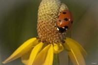 Ladybug On Yellow Flower Fine Art Print