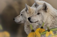 Three Wolves Fine Art Print