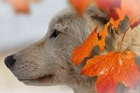 Wolf Profile Autumn Leaves Fine Art Print