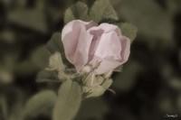 Pink Flower Closeup I Framed Print