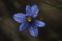 Blue Wildflower With Dew Fine Art Print