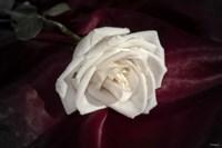 White Rose On Wine Closeup Fine Art Print