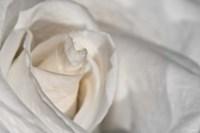 White Rose Closeup Fine Art Print