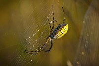 Yellow Spider On The Web Fine Art Print