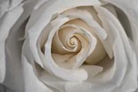 White Rose Petals Closeup Fine Art Print