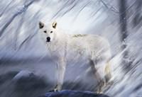 River Wolf II Framed Print
