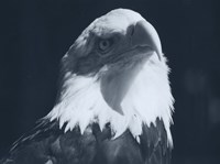 Bald Eagle 2 Fine Art Print