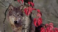 Autumn Wolf Fine Art Print