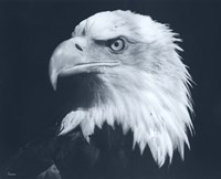 Bald Eagle 3 Fine Art Print