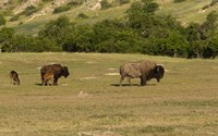 Bison And Baby Bison Fine Art Print