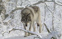 Zoo Wolf 3 Fine Art Print