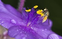 Bee On Purple And Yellow Flower Fine Art Print