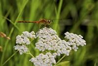 Orang Dragonfly On White Wild Flowers Fine Art Print