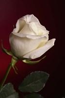 White Rose On Red Fine Art Print
