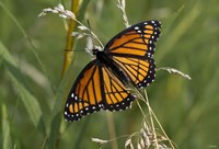 Orange And Black Butterfly In Greenery Fine Art Print