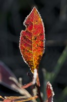 Red Fall Leaf Closeup Fine Art Print