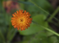North Shore Orange Flower Fine Art Print