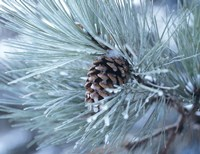 Frosted Pine Cone And Pine Needles III Fine Art Print