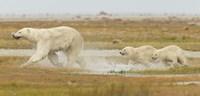 White Wet Bear Run Fine Art Print