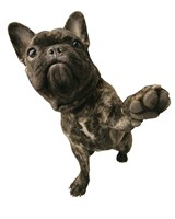 Brown Pug Offering Paw Fine Art Print