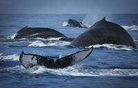 Whale Tails And Humps Fine Art Print
