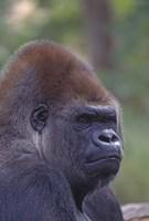 Gorilla Portrait Fine Art Print