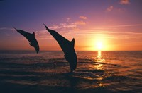 Dolphin Sunset Dive Duo Fine Art Print