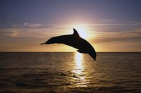 Dolphin Sunset Dive I Fine Art Print