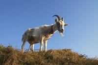 Goat On Grass Fine Art Print