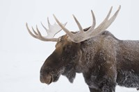 Brown Moose White Antlers Fine Art Print