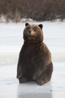 Bear Taking A Seat Fine Art Print
