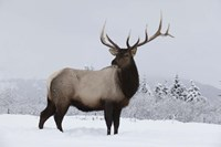 Brown To Beige Reindeer Fine Art Print