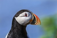 Puffin Bird Colorful Beak Closeup II Framed Print