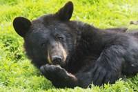 Black Bear On Grass Fine Art Print
