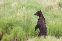 Bear In High Grass Fine Art Print