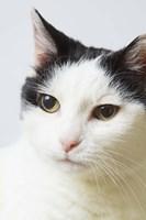 White Cat Contemplation Fine Art Print