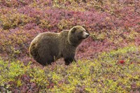 Bear In Colored Field Fine Art Print
