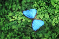 Blue Butterfly Greenery Fine Art Print