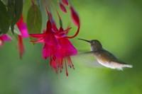 Hovering Hummingbird Fine Art Print