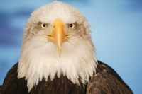 Wise Bald Eagle Fine Art Print